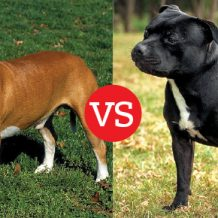 Shopping for Pit Bulls: What's the Difference?