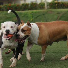 The Natural Tendencies of the Pitbull Breed